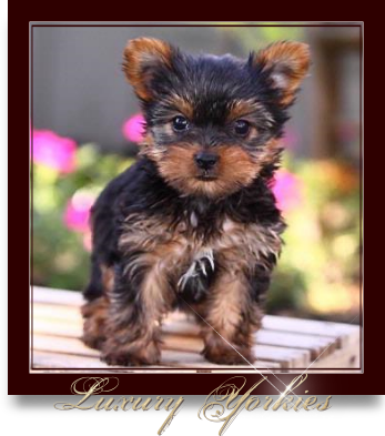 Teacup Yorkie For Sale In Texas