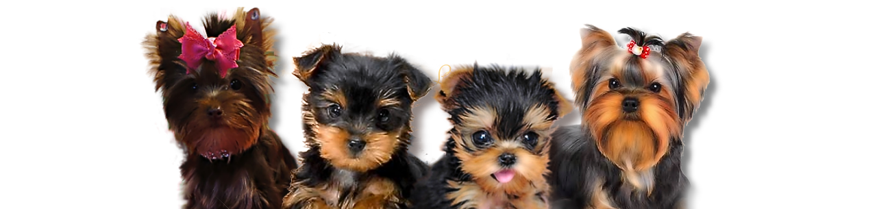 Luxury Yorkies Teacup Yorkie puppies for sale Texas Yorkie